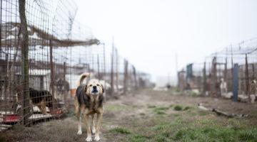 Koira romanialaisella koiratarhalla. Yhden arvion mukaan maassa on noin kaksi miljoonaa koditonta koiraa.