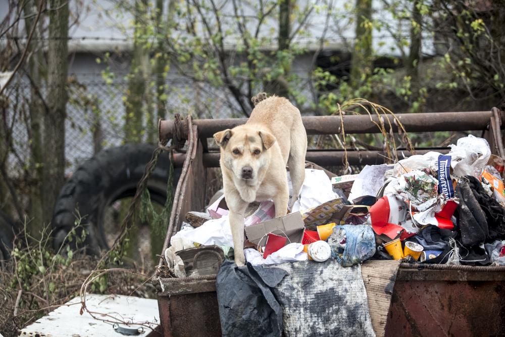 Koditon koira syömässä roskiksesta Romaniassa