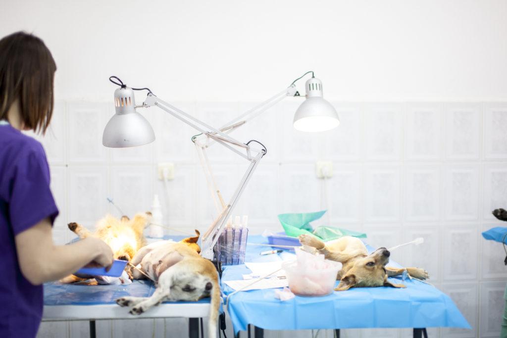 Koiria steriloidaan Kulkurit ry:n sponsoroimassa tapahtumassa Romaniassa.